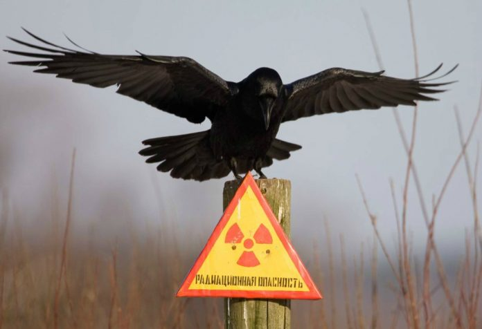 Ворон на столбе со знаком «Радиационная опасность»