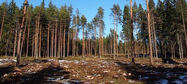 Вырубка городских лесов в Петрозаводске