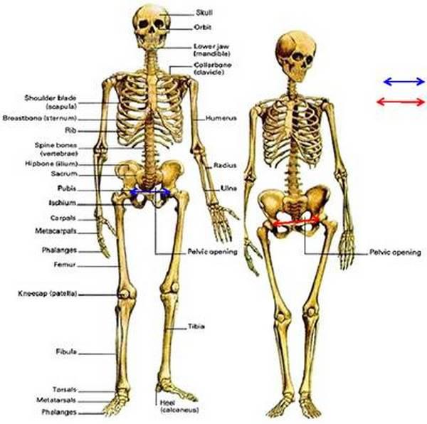 Разница в строениях мужского и женского скелетов