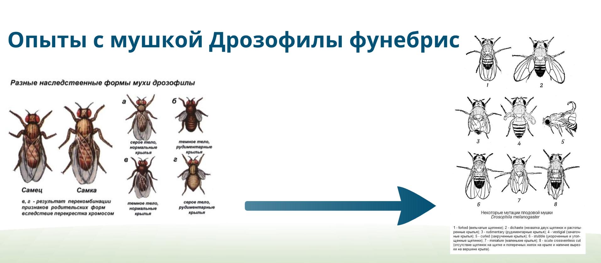 mushka-drozofily
